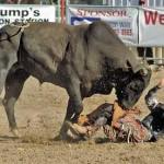 Bull Rider Trampled